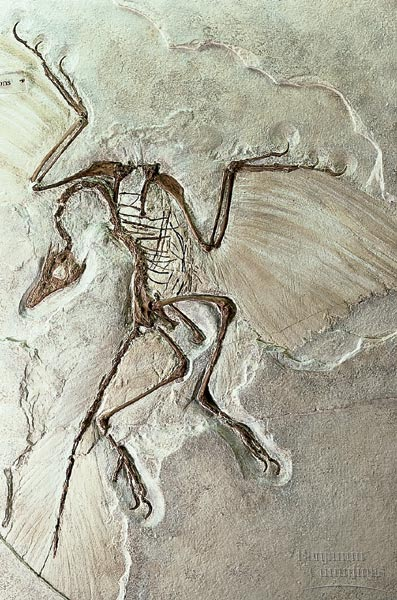ArchaeopteryxFossil